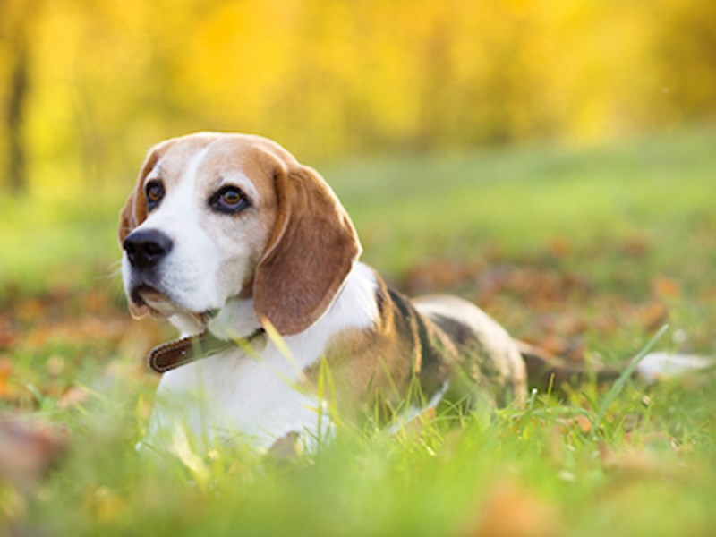 Beagle sitting in a field