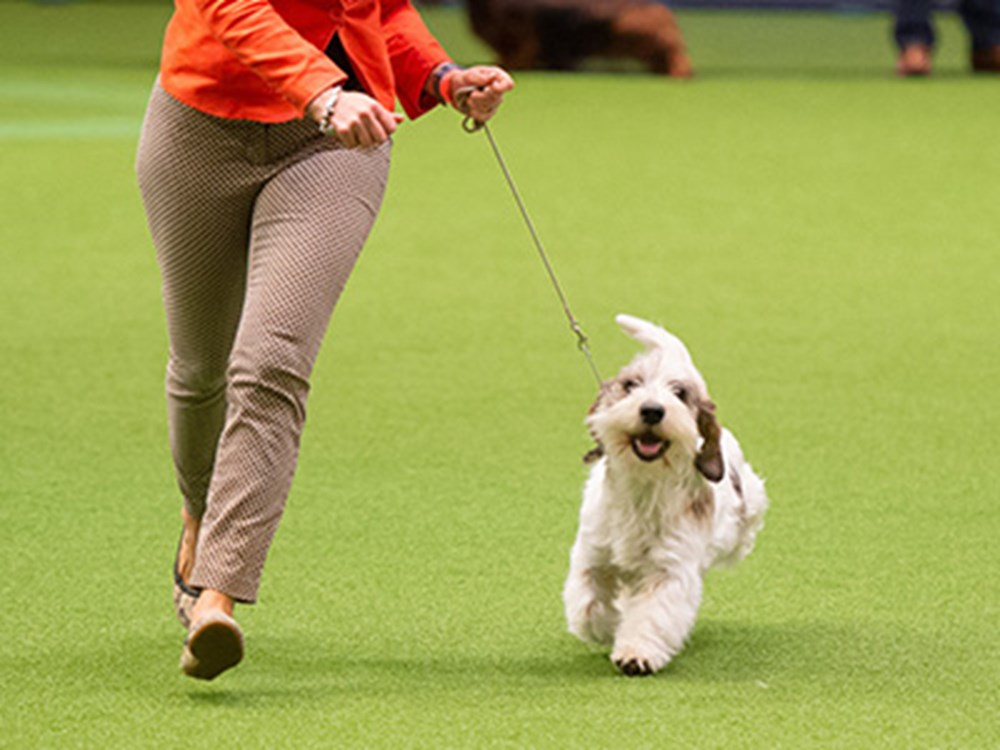 A lady wearing a coral coloured jacket showing her dog at Crufts