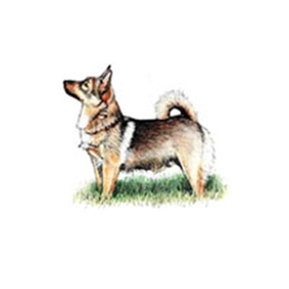 Swedish Vallhund illustration