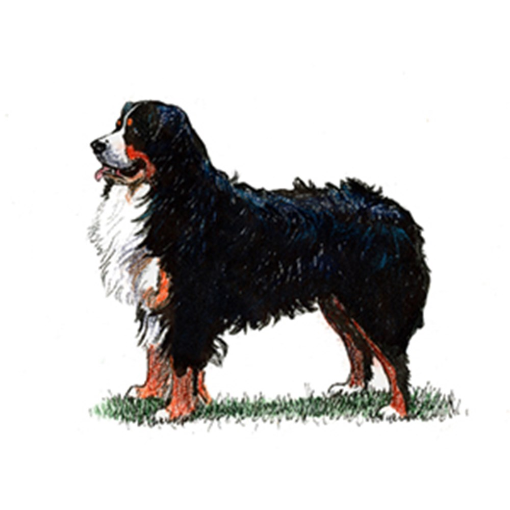 Bernese Mountain Dog illustration