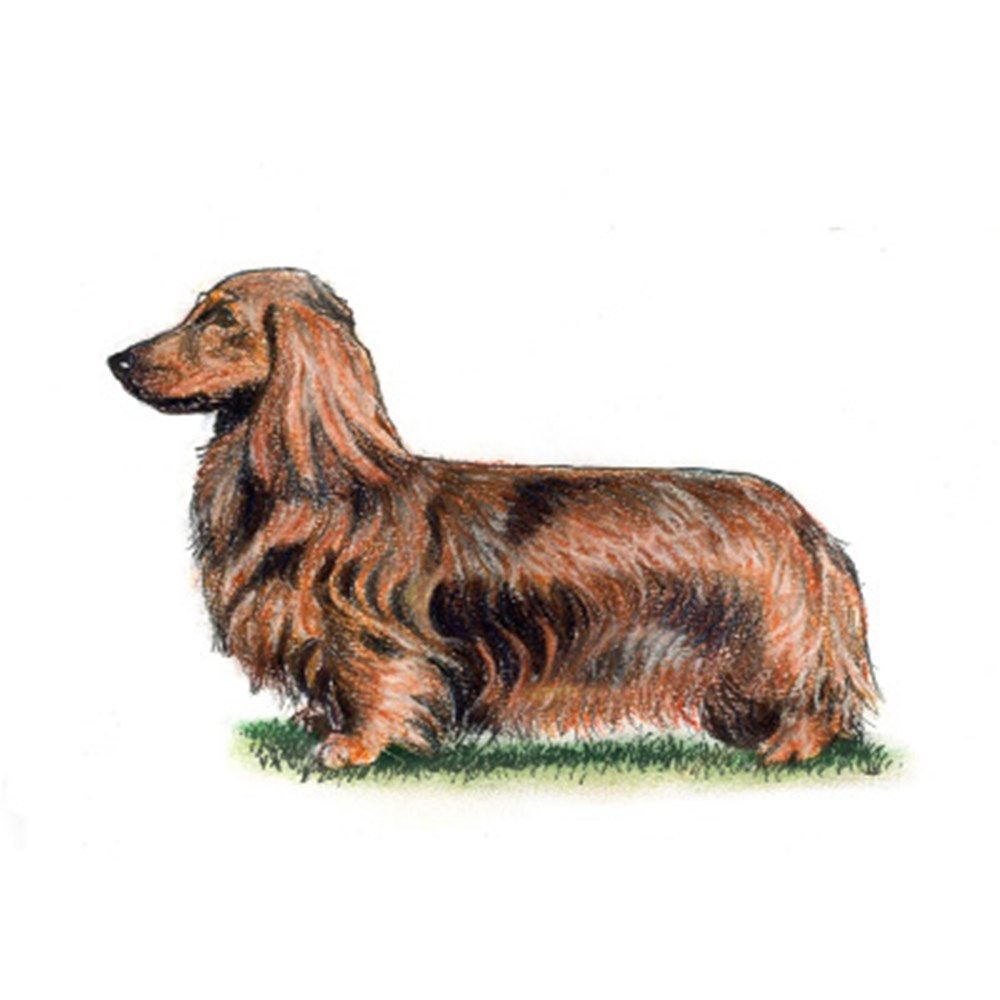 Dachshund (Long Haired) illustration