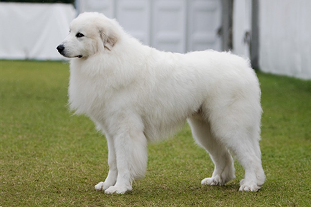 Pyrenean Mountain Dog | Breeds A to Z | The Kennel Club
