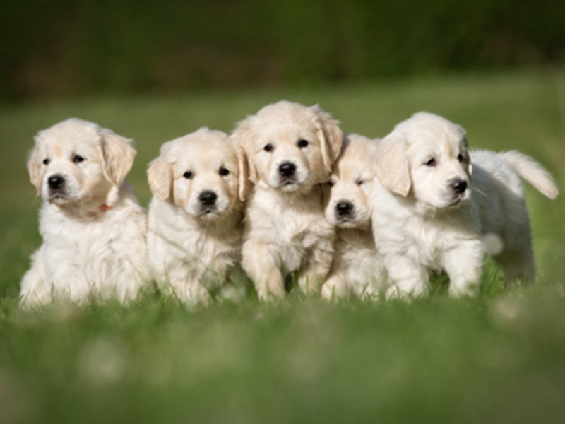 Group of Labrador puppies sat together