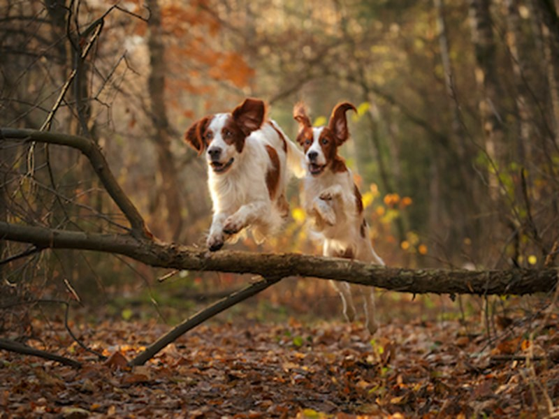 Two dogs running through a forest during autumn