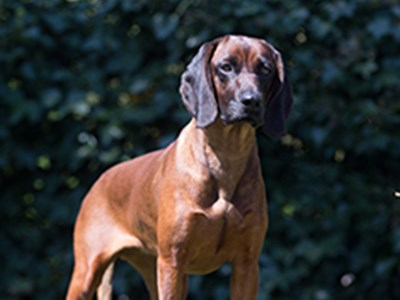 Bavarian Mountain Hound standing