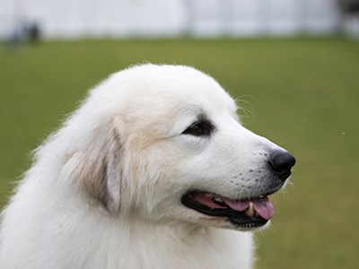 Pyrenean Mountain Dog headshot