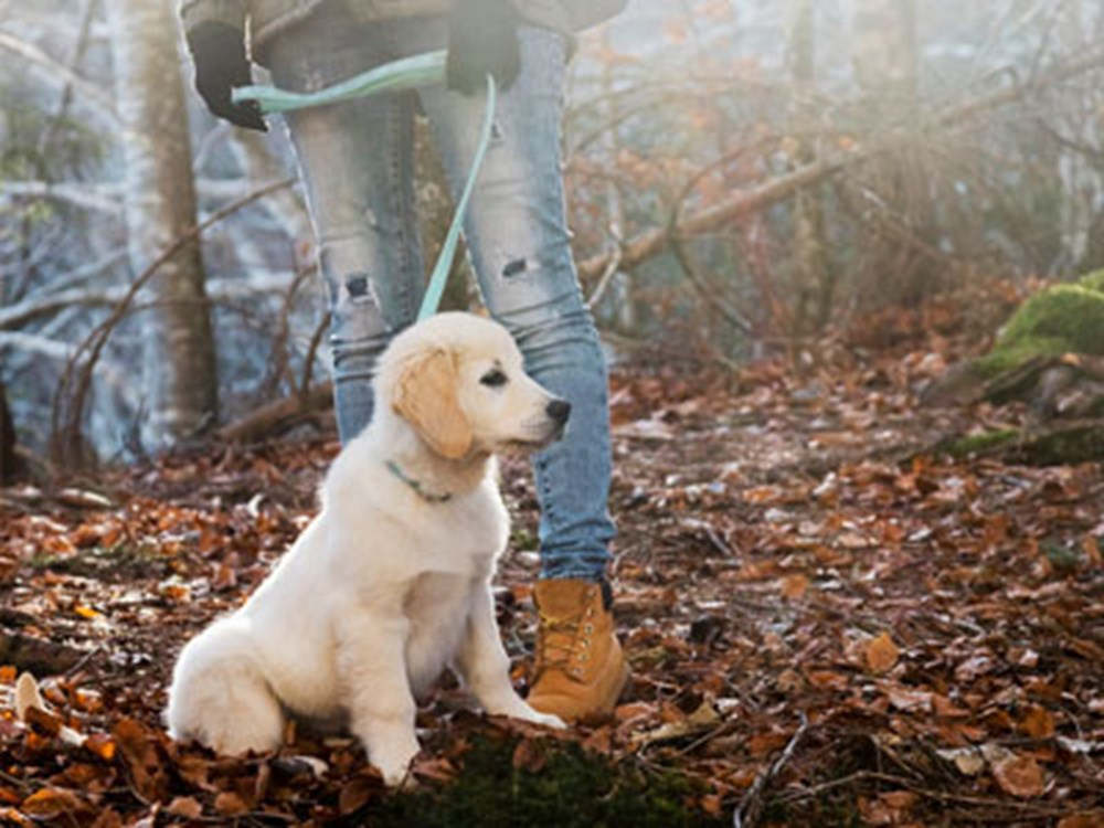 Labrador in forest with owners legs in view