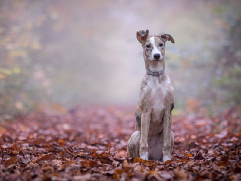 Whippet sat in leaves