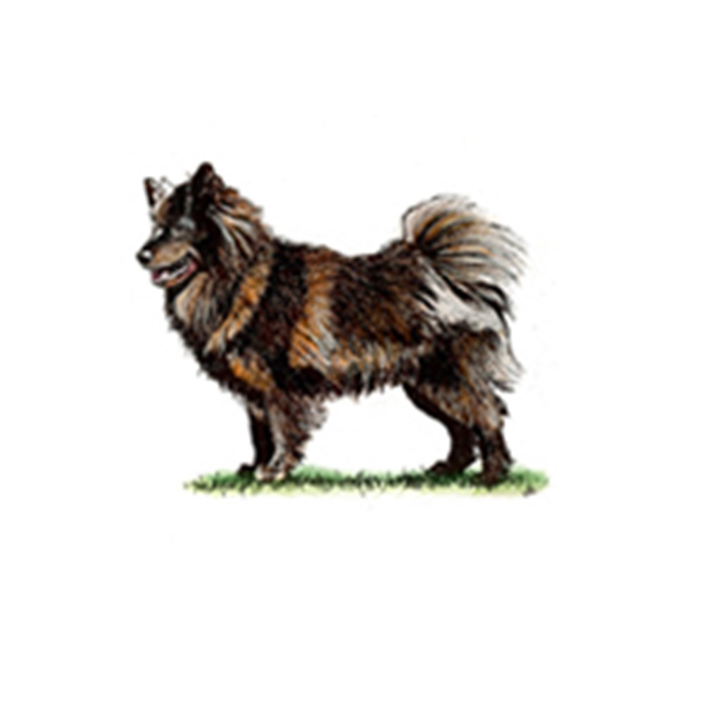 Swedish Lapphund illustration