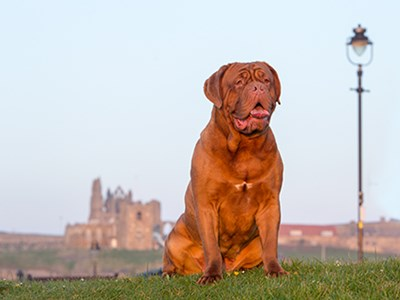 Dogue de Bordeaux headshot