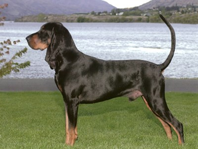 Black and Tan Coonhound standing