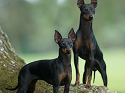 English Toy Terrier standing