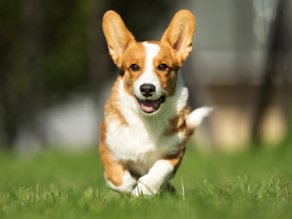 Corgi running in a field
