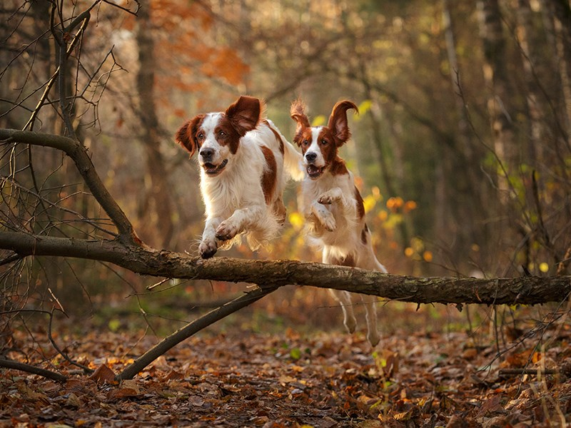 Two dogs jumping over a tree