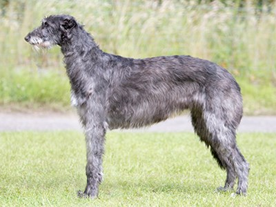Deerhound standing