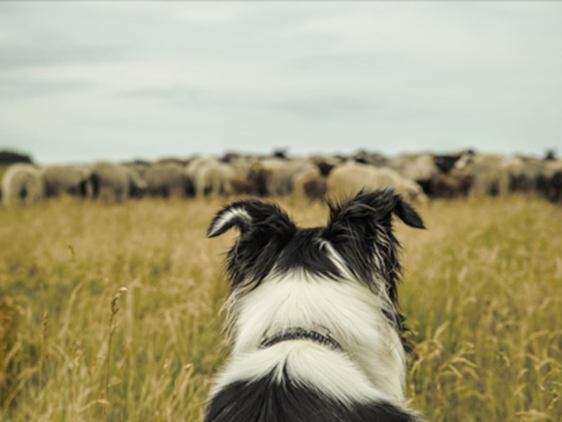Dog in field of sheep