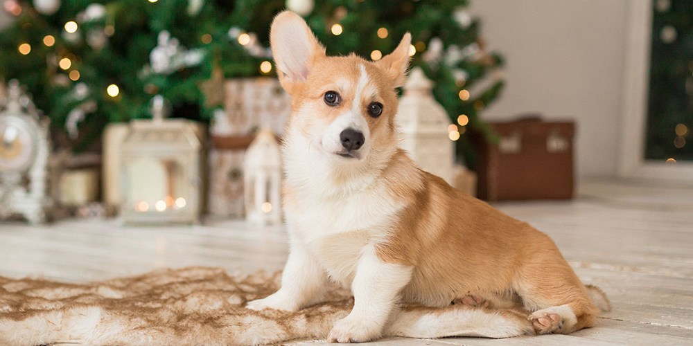 Corgi with Christmas tree