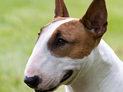 Bull Terrier Miniature headshot