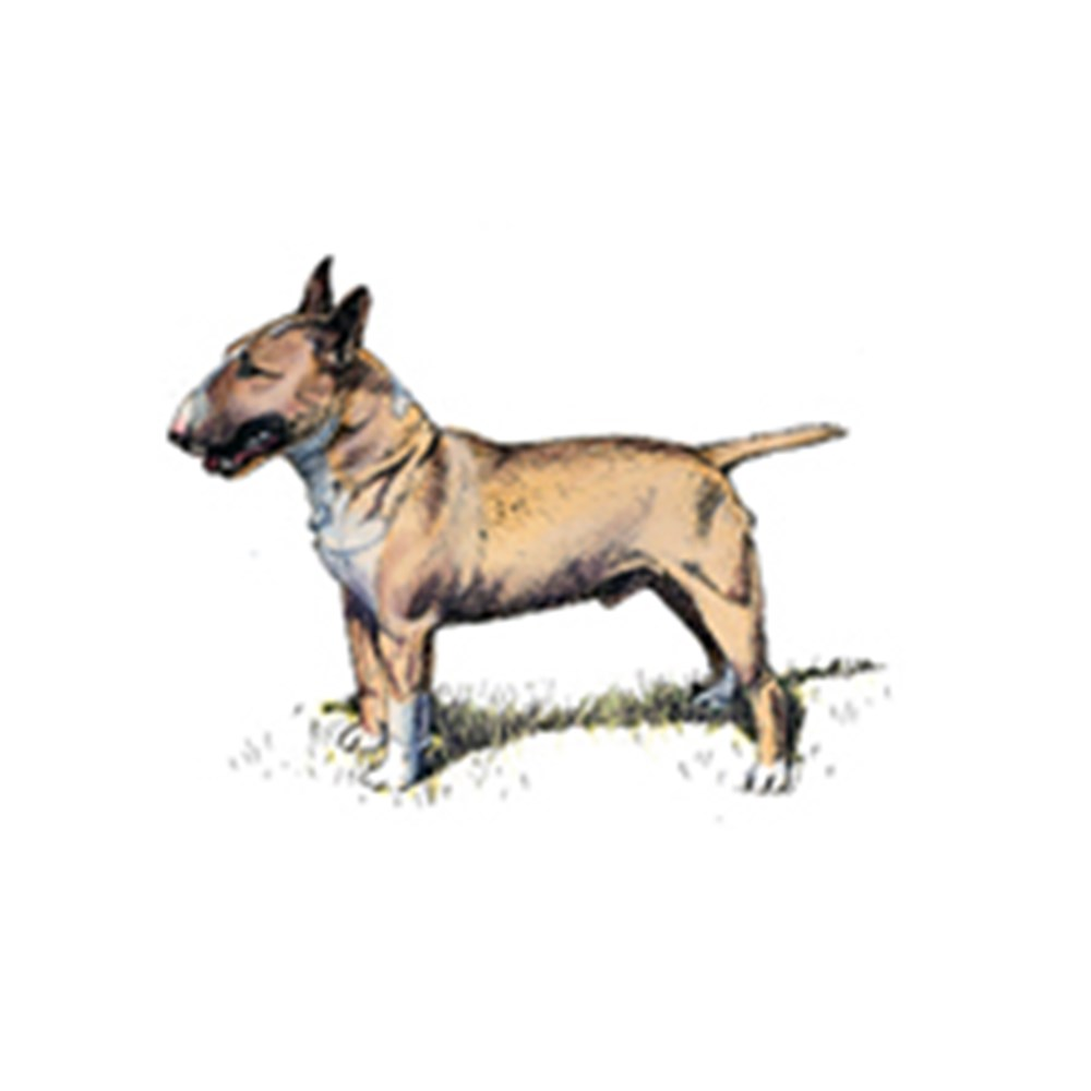 Bull Terrier (Miniature) illustration