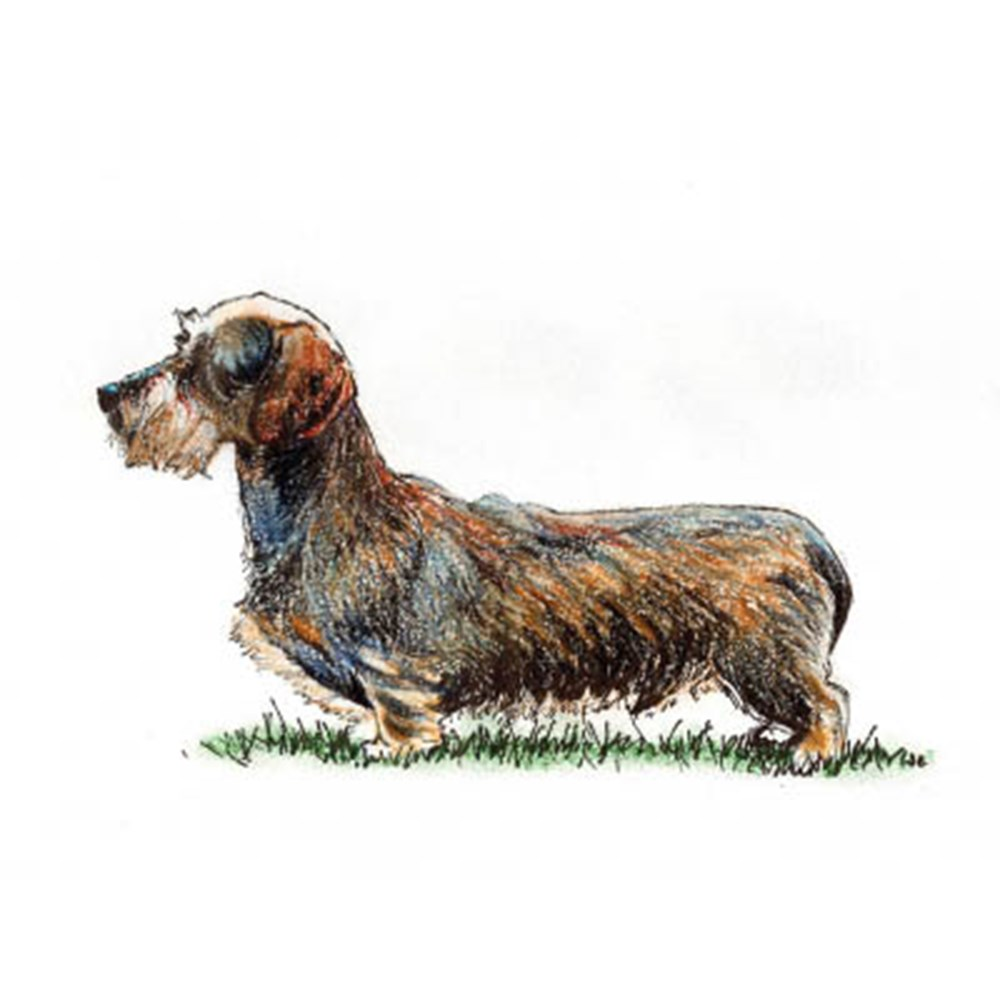 Dachshund (Miniature Wire Haired) illustration