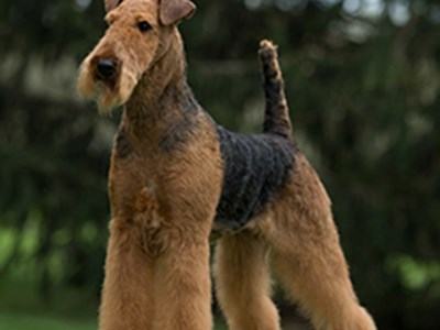 Airedale Terrier standing