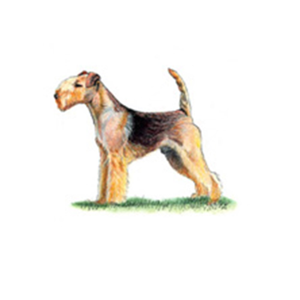 Lakeland Terrier illustration