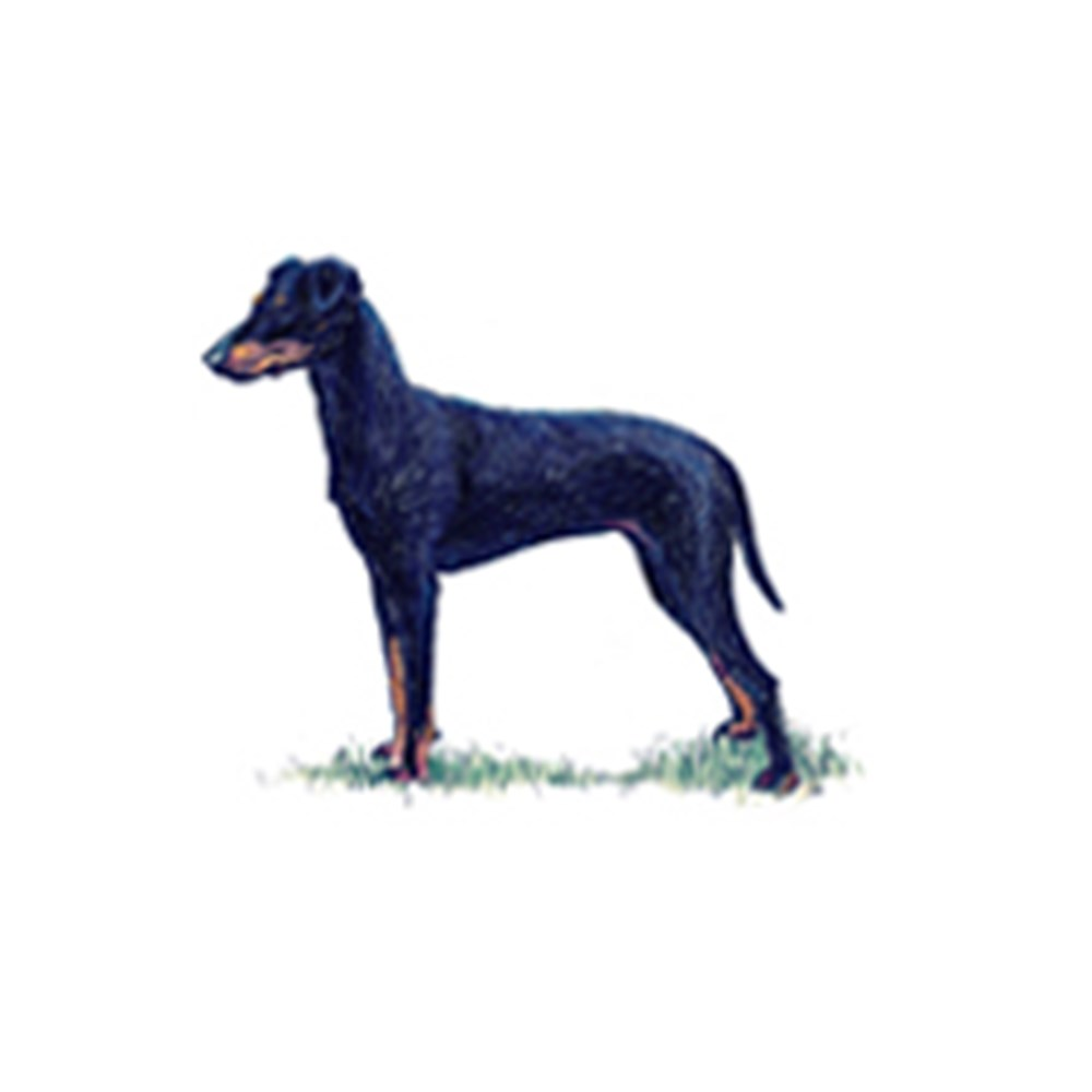 Manchester Terrier illustration