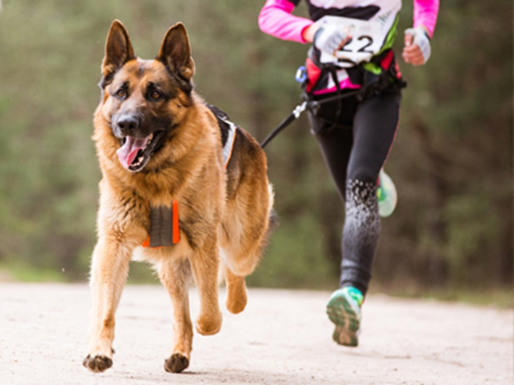 German Shepherd Dog running with person behind
