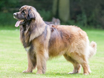Leonberger standing