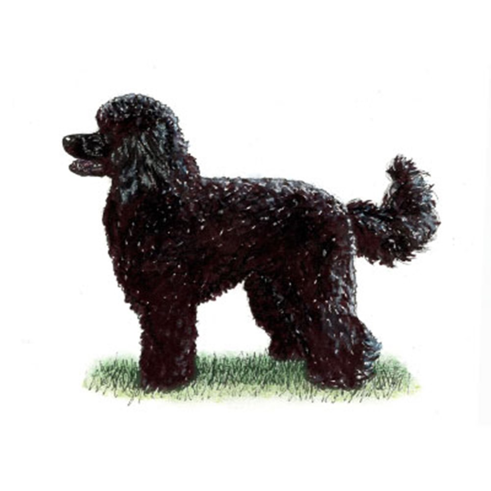 Poodle (Miniature) illustration