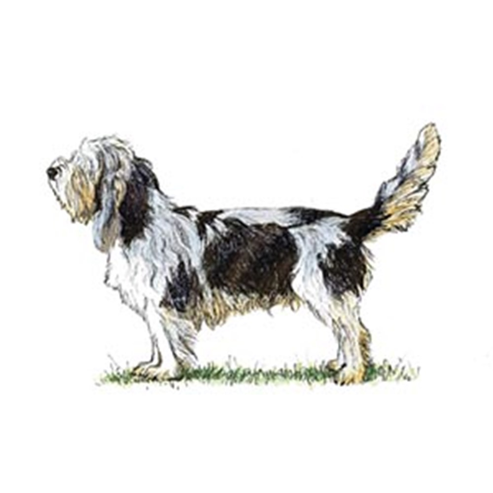 Basset Griffon Vendeen (Grand) illustration