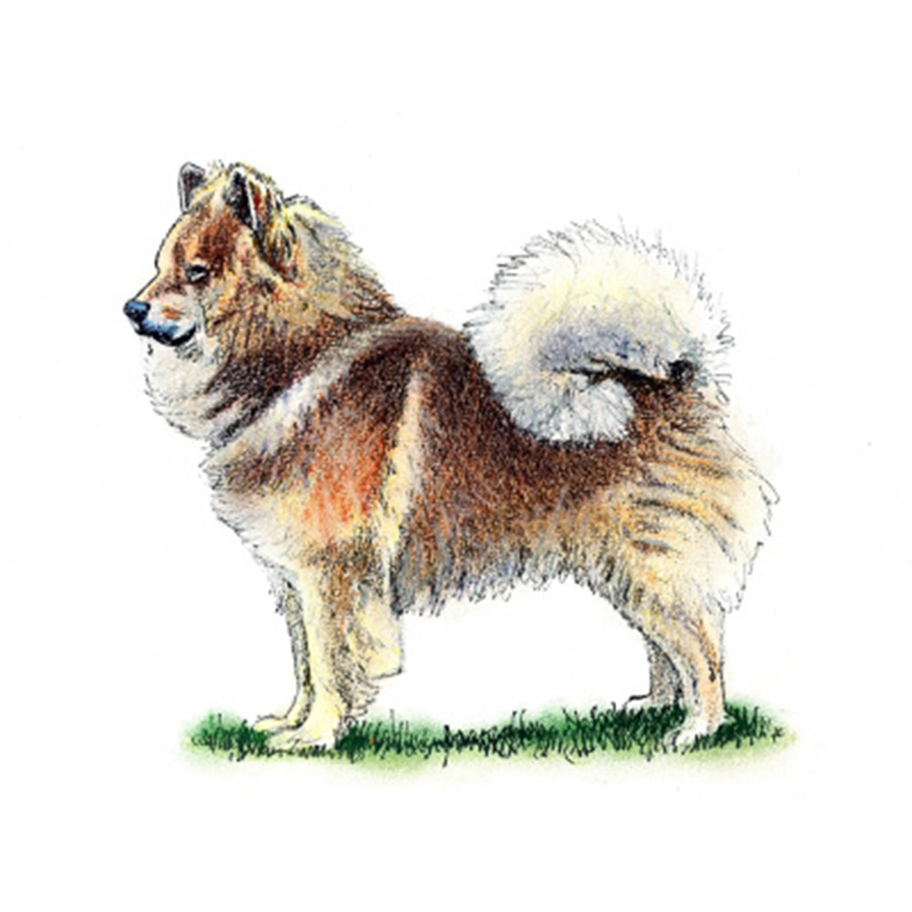 Eurasier illustration