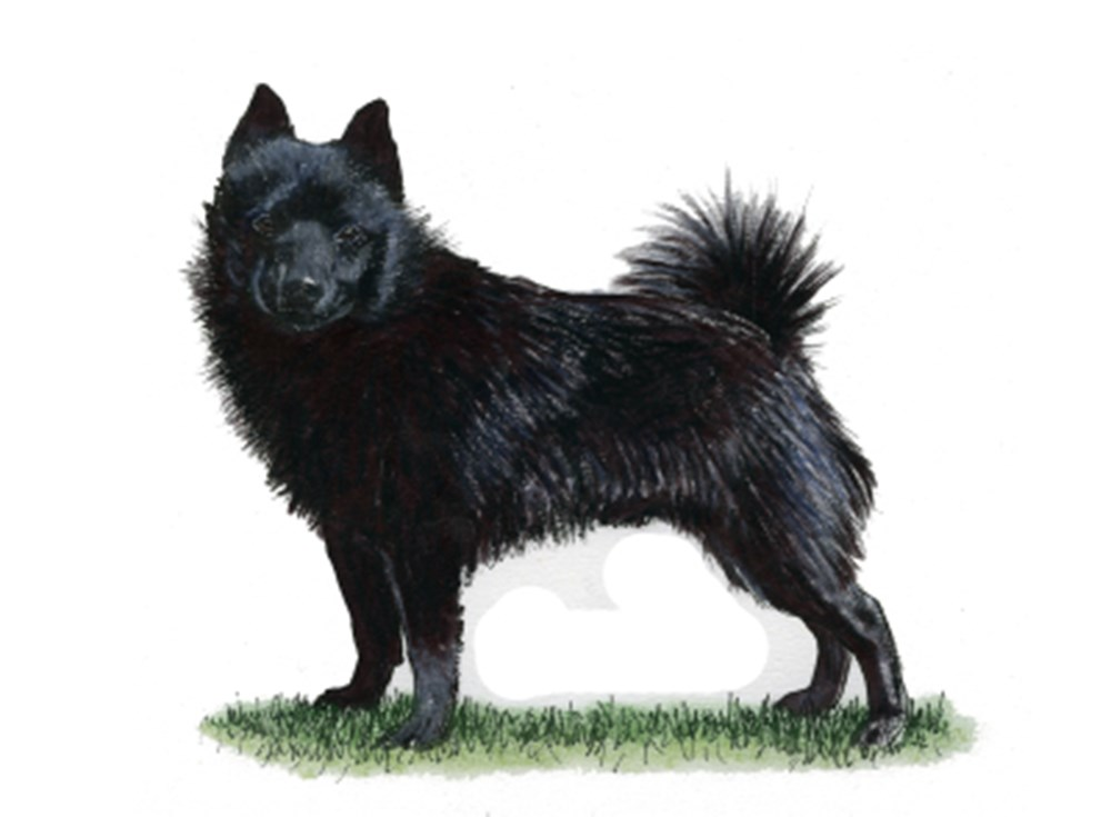 Schipperke illustration