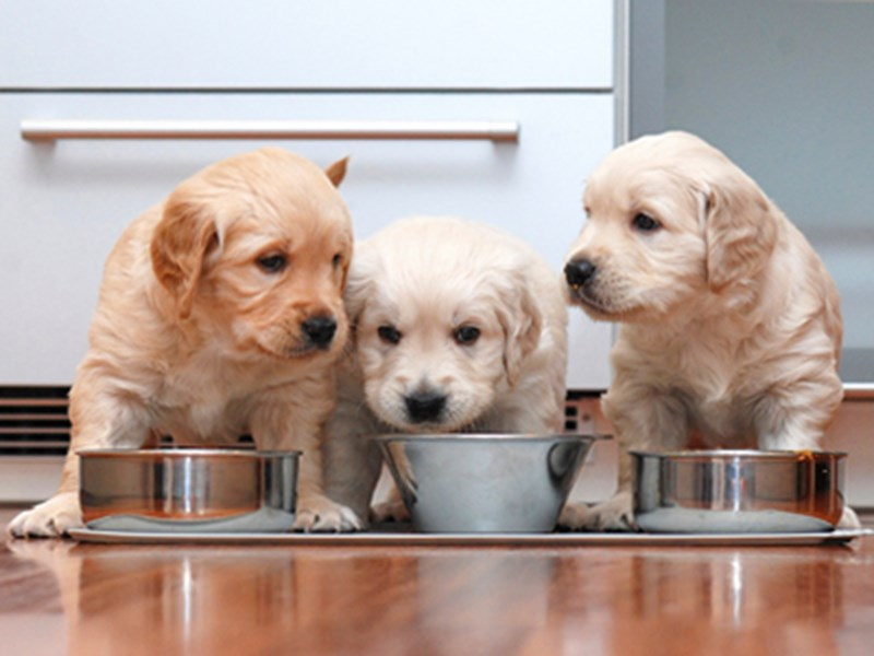 Labrador puppies sat eating from silver bowls