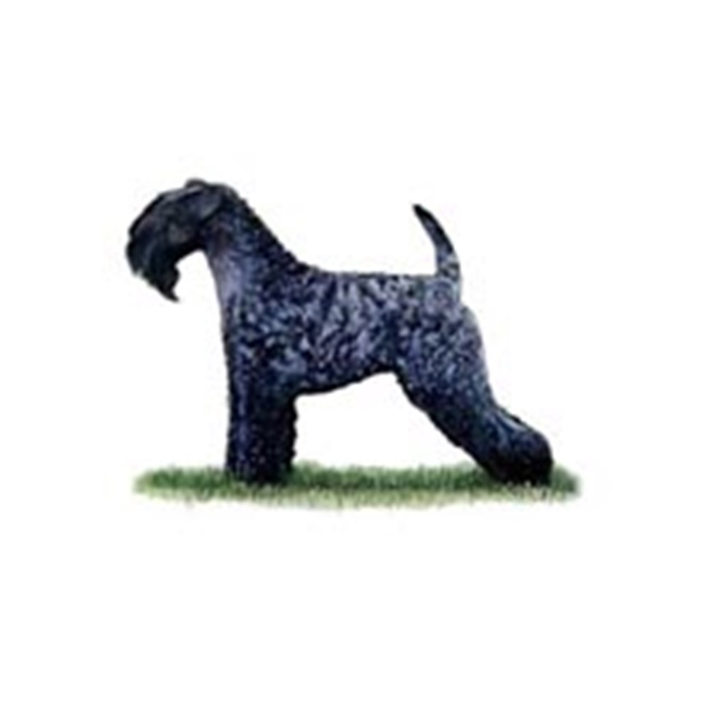 Kerry Blue Terrier illustration