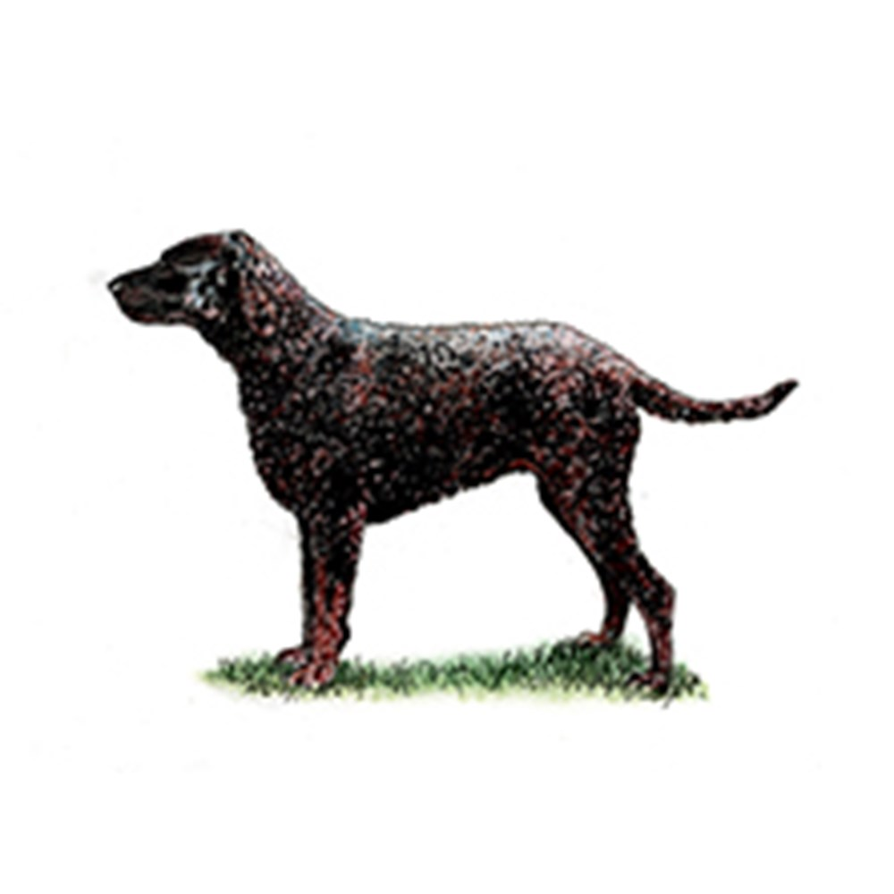 Retriever (Curly Coated) illustration