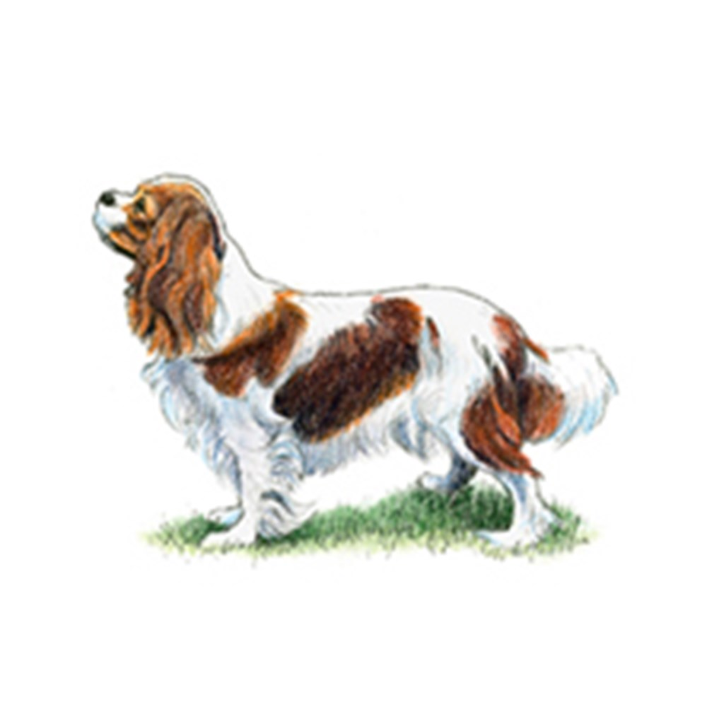 Cavalier King Charles Spaniel illustration