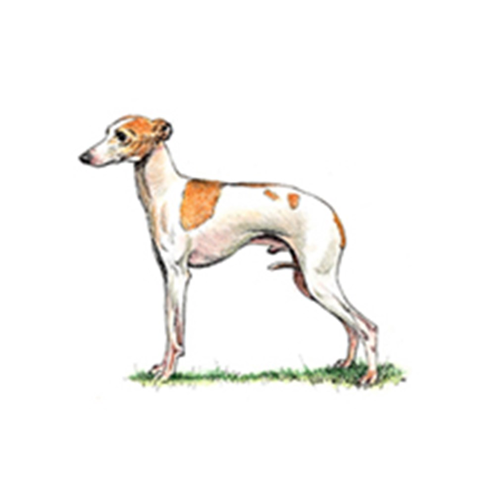 Italian Greyhound illustration