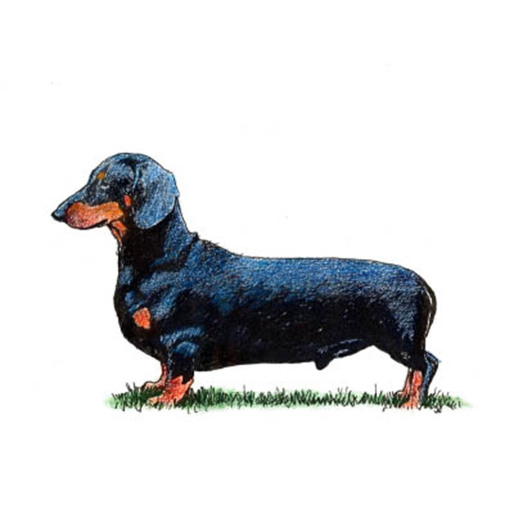 Dachshund (Smooth Haired) illustration