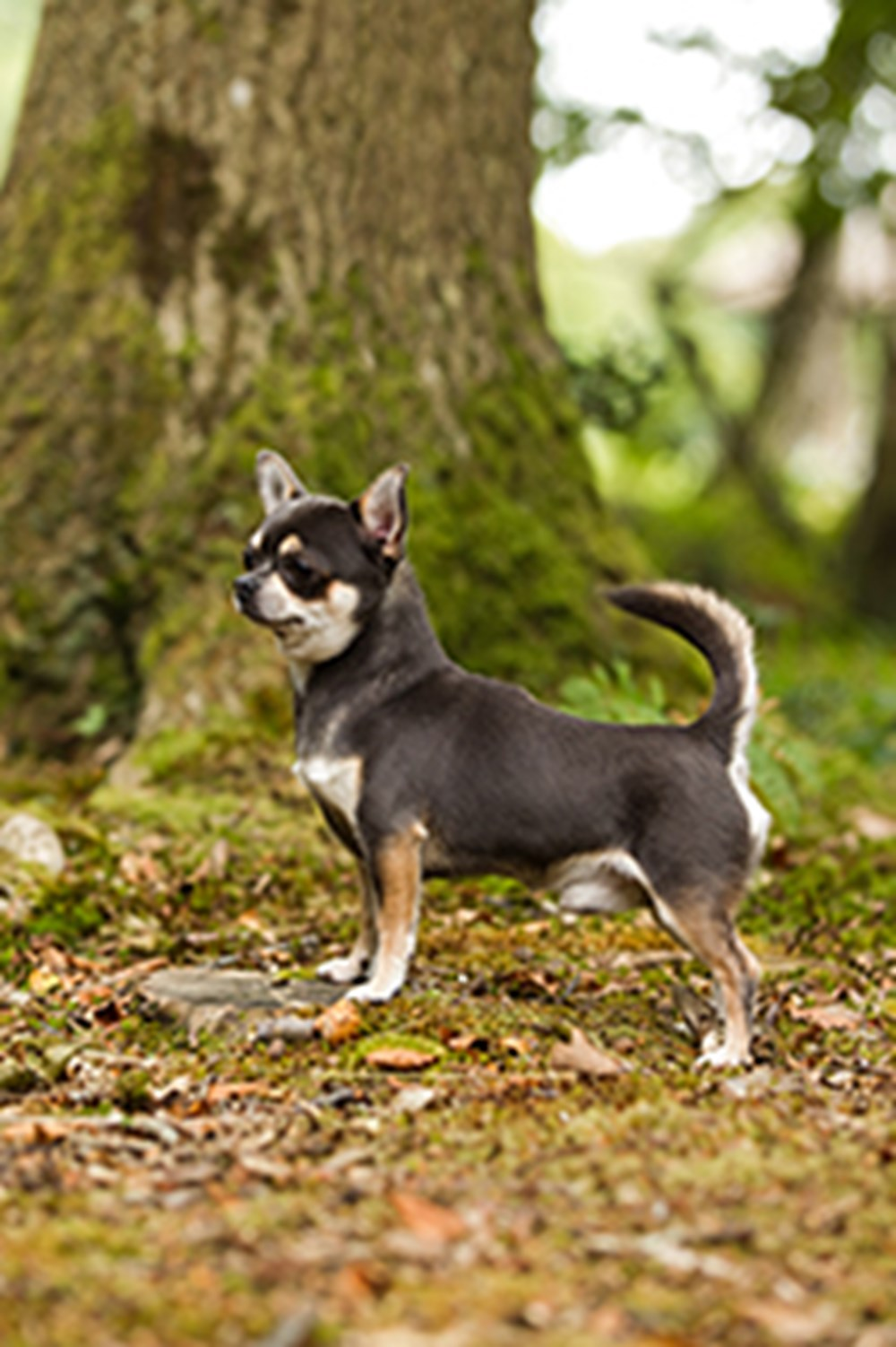 Chihuahua Smooth Coat Breeds A To Z The Kennel Club